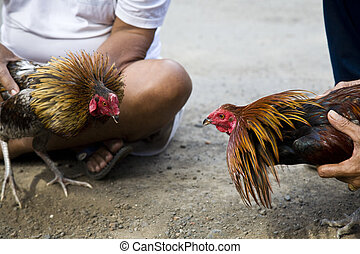 Cock fighting - Two Balinese cocks preparing for the fight