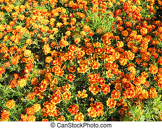 A beautiful bed of flowers of tagetes - A beautiful bed of...