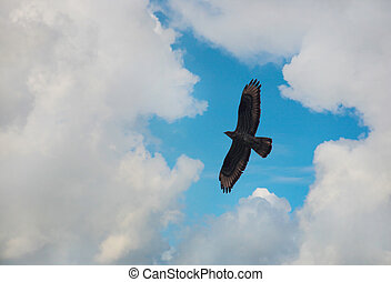 águia, voando, céu