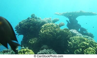 Underwater life of Red Sea - Coral reef of Red Sea...
