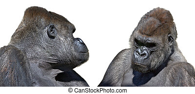 two gorilla looking face to face in horizontal. Bioparc Zoo....