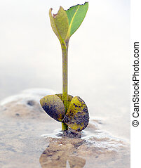 a mangrove seedling after germination