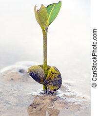 mangrove, Germinação, após,  Seedling