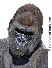 Gorilla portrait in white background. Vertical