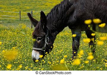 burro, flor, campo
