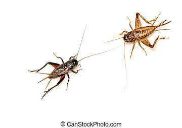 orthoptera insects - crickets - a kind of orthoptera insects...
