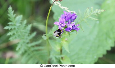 Bumblebee on a dark blue flower