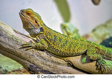 Chameleon lizard of the family of Chamaeleonidae