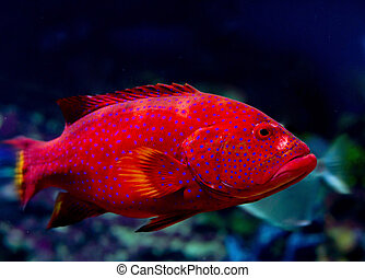 grouper - red grouper (cabrilla, hamlet, hilus)