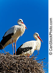 white stork - Beautiful white stork