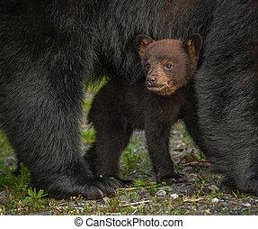 Niedźwiedź, szczeniak, pod, Mamusia