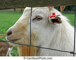 Goat - A long haired goat gazing from behind a fence