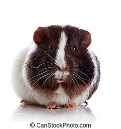 Curious guinea pig