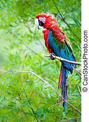 Green-winged macaw lat Ara chloroptera