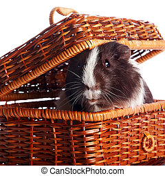 Guinea pig in a wattled basket on a white background