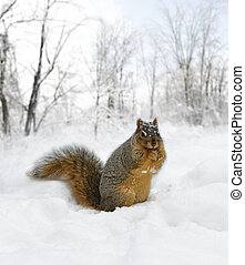 Squirrel On The Snow - Fox Squirrel On The Snow