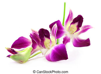 Dendrobium Orchid over white background