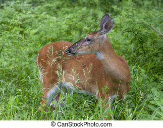 Young whitetail deer female in a wild