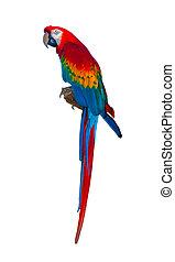 Sitting Scarlett macaw isolated on white
