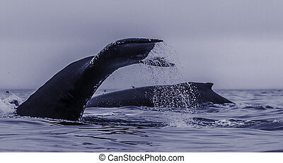 A group of feeding humpback whales, exposing back and fluke...