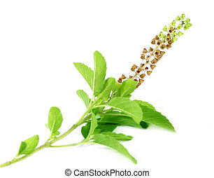 Medicinal holy basil or tulsi leaves and flowers with...