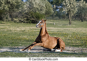 Horse standing Up - Brown Horse try to stand Up on a...