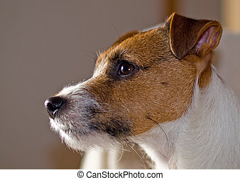 Portrait of a Cute Jack Russell Terrier