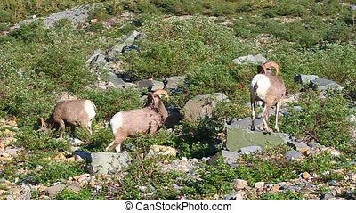 Bighorn Sheep Glacier National Park - Bighorn sheep Ovis...