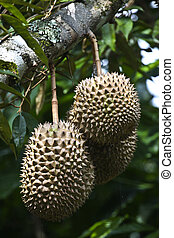 durian fruits
