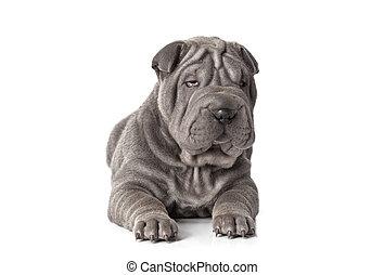 Beautiful sharpei puppy - Portrait of sharpei puppy dog...
