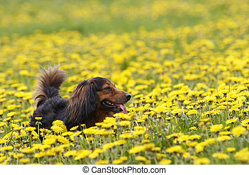 Dachshund on the dandelions meadow - Shot of the dachshund...