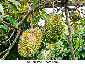 Fresh durians on the tree - Fresh durians, the king of fruit...