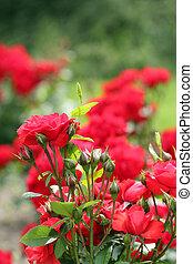 roses garden spring scene