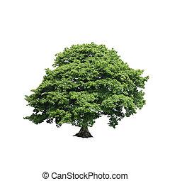 美國梧桐, 樹