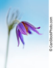 pasque flower - Close up of purple pasque flower with narrow...