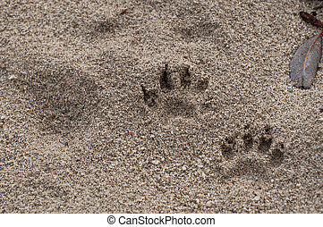 raccoon paw prints in sand - close up of paw prints in the...