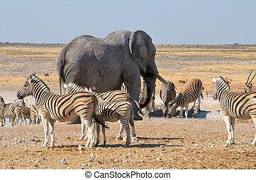 Elephant and zebras in the Etosha National Park, Namibia