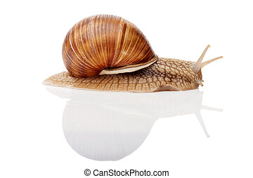 snail isolated - One Garden snail Helix aspersa with...