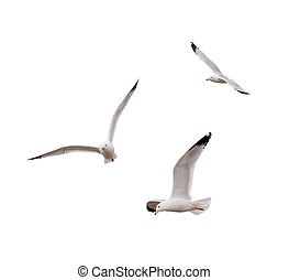Flying Gulls - Ring-billed Gulls (Larus delawarensis) on a...