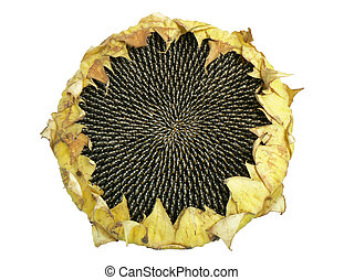 Sunflower  - Ripe sunflower\\\'s seeds