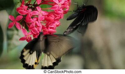 Two butterflies feeding on flower