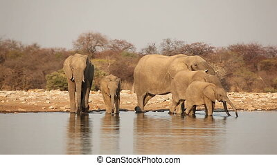 African elephants drinking water - African elephants...