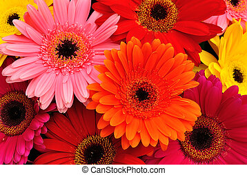 Gerbera Daisies - Close up of brightly colored Gerbera...