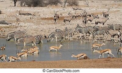 Etosha waterhole - Zebra, springbok and gemsbok antelopes...