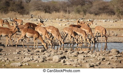Impala antelopes at waterhole - Impala antelopes Aepyceros...