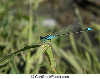 Blue damselfly - A blue damselfly with big eyes