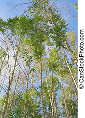 Summer nature with birches on blue sky