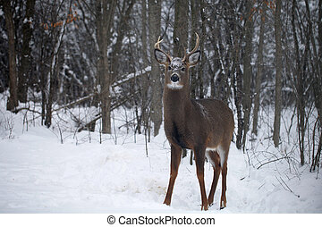 White-tailed buck in wintertime - Handsome white-tailed buck...