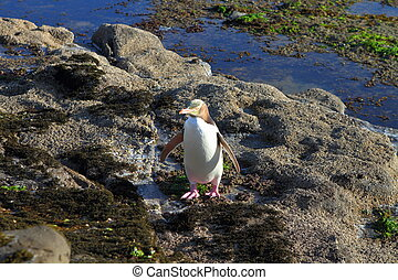 Penguin - A rare yellow-eyed penguin in the wilderness of...