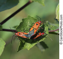 Pests 1 - A beautiful pests are live and eat on leaf of...